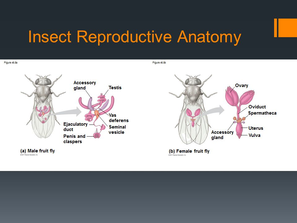 Insect Reproductive Anatomy