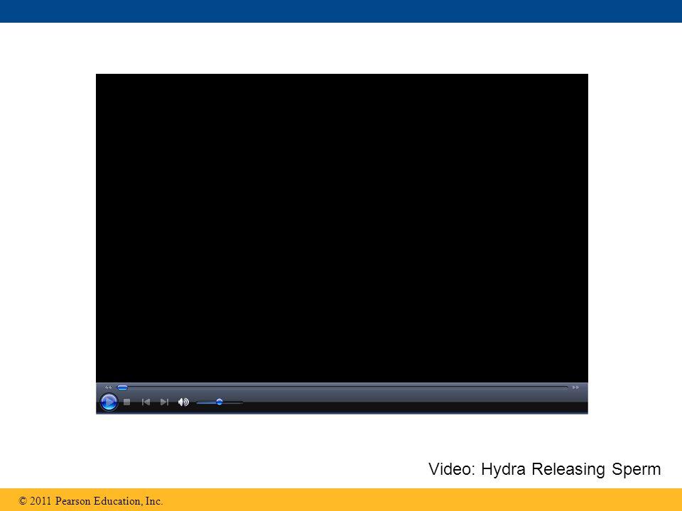 © 2011 Pearson Education, Inc. Video: Hydra Releasing Sperm
