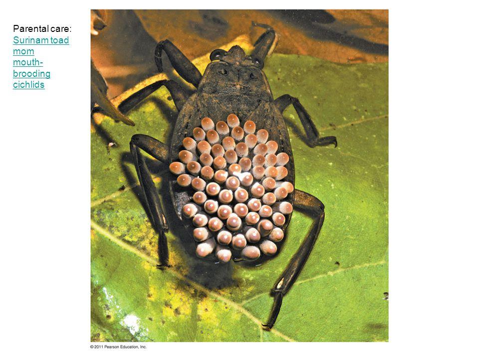 Parental care: Surinam toad mom mouth- brooding cichlids Surinam toad mom mouth- brooding cichlids