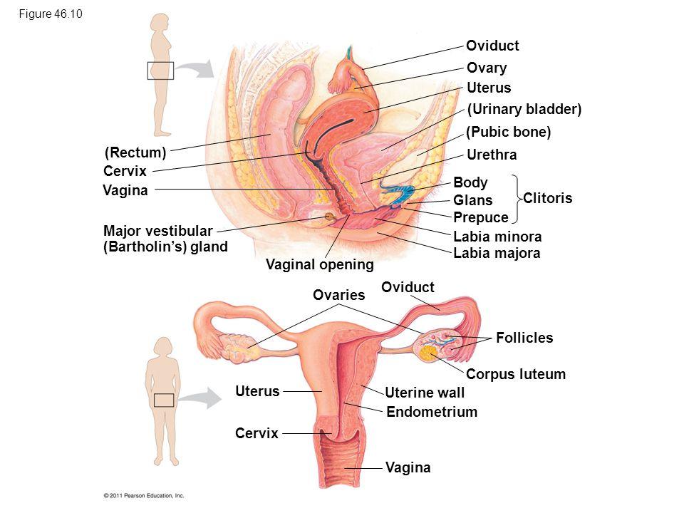 Figure 46.10 (Rectum) Cervix Vagina Major vestibular (Bartholins) gland Vaginal opening Oviduct Ovary Uterus (Urinary bladder) (Pubic bone) Urethra Body Glans Prepuce Clitoris Labia minora Labia majora Ovaries Oviduct Follicles Corpus luteum Uterine wall Endometrium Vagina Uterus Cervix