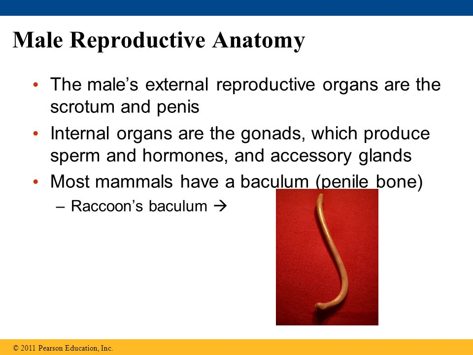 Male Reproductive Anatomy The males external reproductive organs are the scrotum and penis Internal organs are the gonads, which produce sperm and hormones, and accessory glands Most mammals have a baculum (penile bone) –Raccoons baculum © 2011 Pearson Education, Inc.
