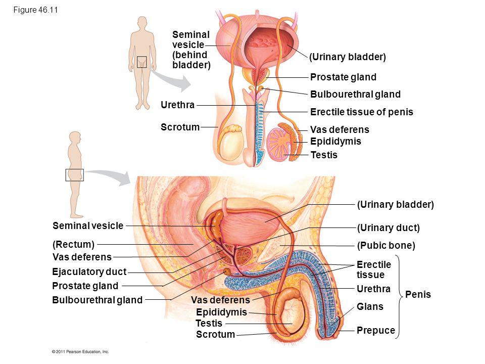 Seminal vesicle (behind bladder) Urethra Scrotum (Urinary bladder) Prostate gland Bulbourethral gland Erectile tissue of penis Vas deferens Epididymis Testis Seminal vesicle (Rectum) Vas deferens Ejaculatory duct Prostate gland Bulbourethral gland Vas deferens Epididymis Testis Scrotum (Urinary bladder) (Urinary duct) (Pubic bone) Erectile tissue Urethra Glans Prepuce Penis Figure 46.11