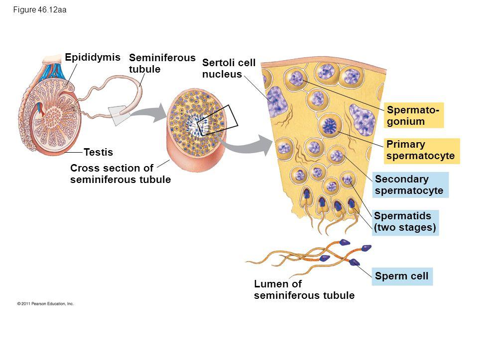 Epididymis Seminiferous tubule Testis Cross section of seminiferous tubule Spermato- gonium Primary spermatocyte Spermatids (two stages) Secondary spermatocyte Sperm cell Sertoli cell nucleus Lumen of seminiferous tubule Figure 46.12aa