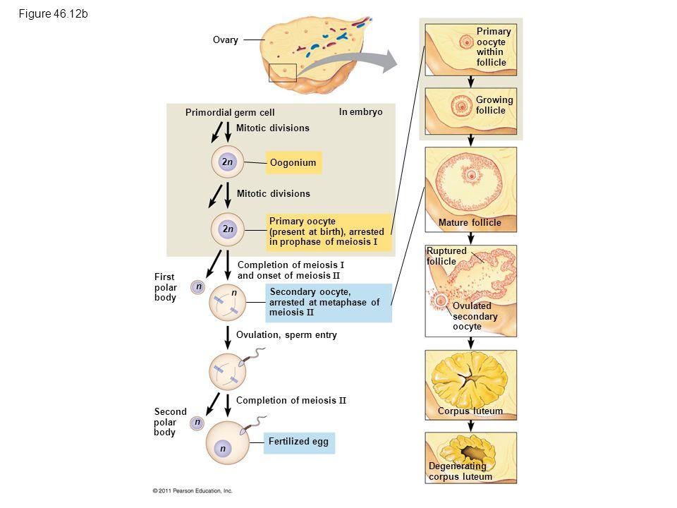 2n2n 2n2n n n n n Ovary Primordial germ cell Mitotic divisions Oogonium In embryo Primary oocyte (present at birth), arrested in prophase of meiosis I