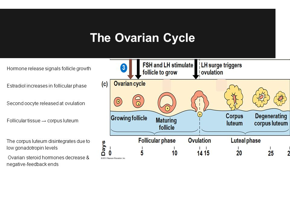 The Ovarian Cycle Hormone release signals follicle growth Estradiol increases in follicular phase Second oocyte released at ovulation Follicular tissu