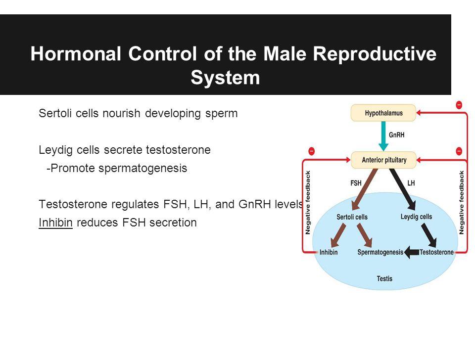Hormonal Control of the Male Reproductive System Sertoli cells nourish developing sperm Leydig cells secrete testosterone -Promote spermatogenesis Testosterone regulates FSH, LH, and GnRH levels Inhibin reduces FSH secretion