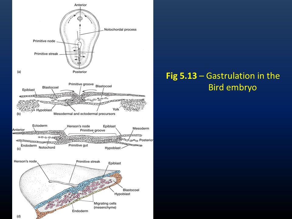 Chick Gastrulation Video http://www.gastrulation.org/