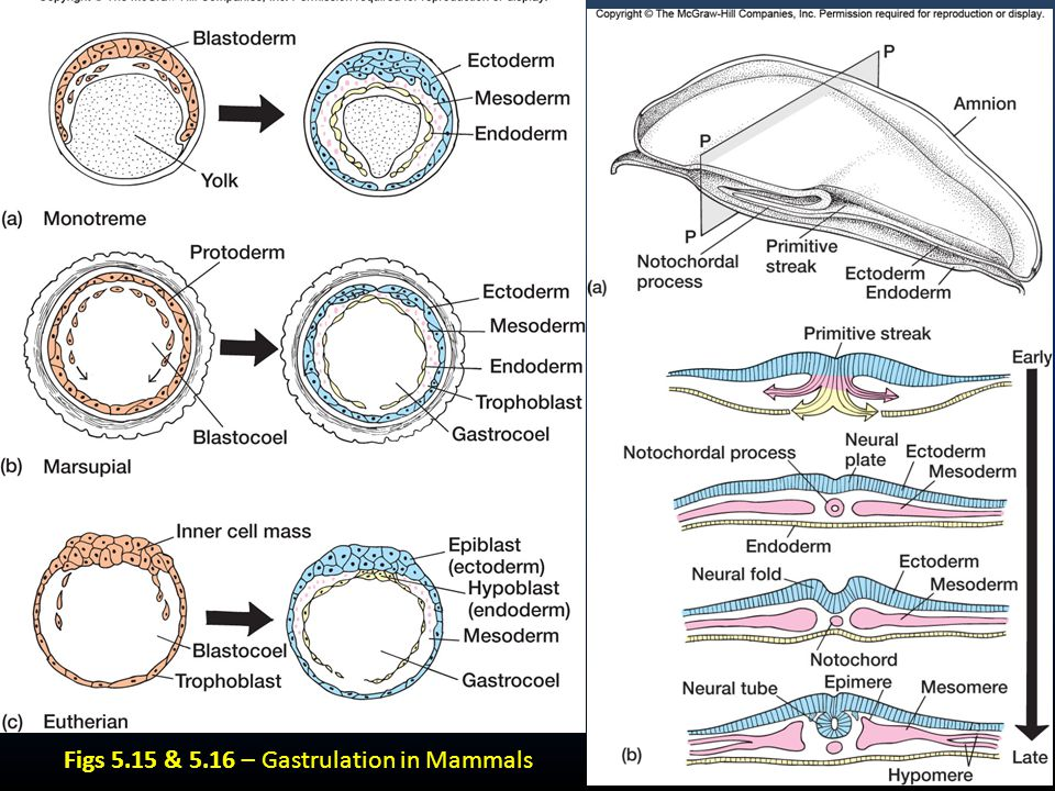 Major Tissue Regions after Gastrulation Skin ectoderm Neural ectoderm Notochordal mesoderm Lateral mesoderm Endoderm