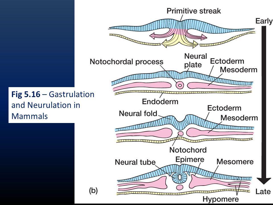 MESODERM DEVELOPMENT Majority of body structures are mesodermal in origin.