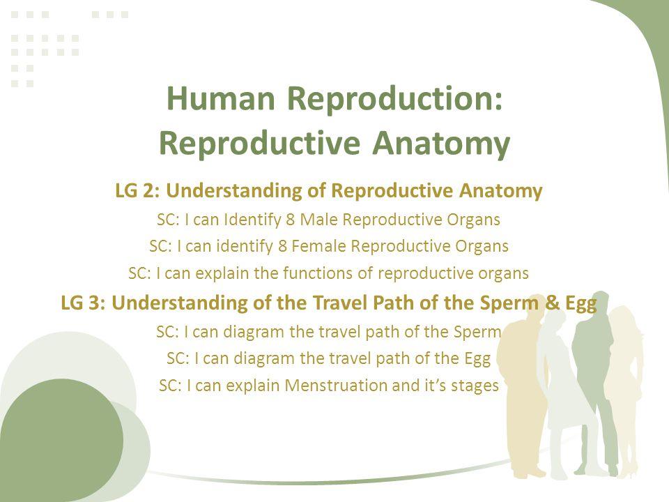 Human Reproduction: Reproductive Anatomy LG 2: Understanding of Reproductive Anatomy SC: I can Identify 8 Male Reproductive Organs SC: I can identify