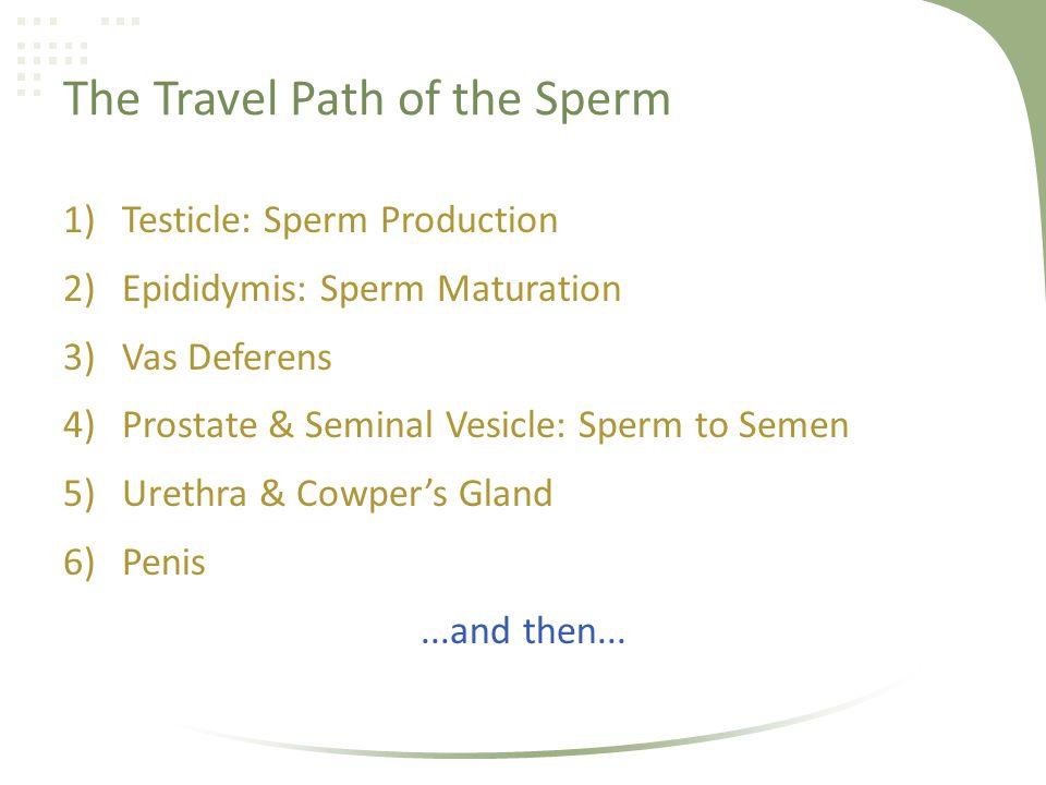 The Travel Path of the Sperm 1)Testicle: Sperm Production 2)Epididymis: Sperm Maturation 3)Vas Deferens 4)Prostate & Seminal Vesicle: Sperm to Semen 5