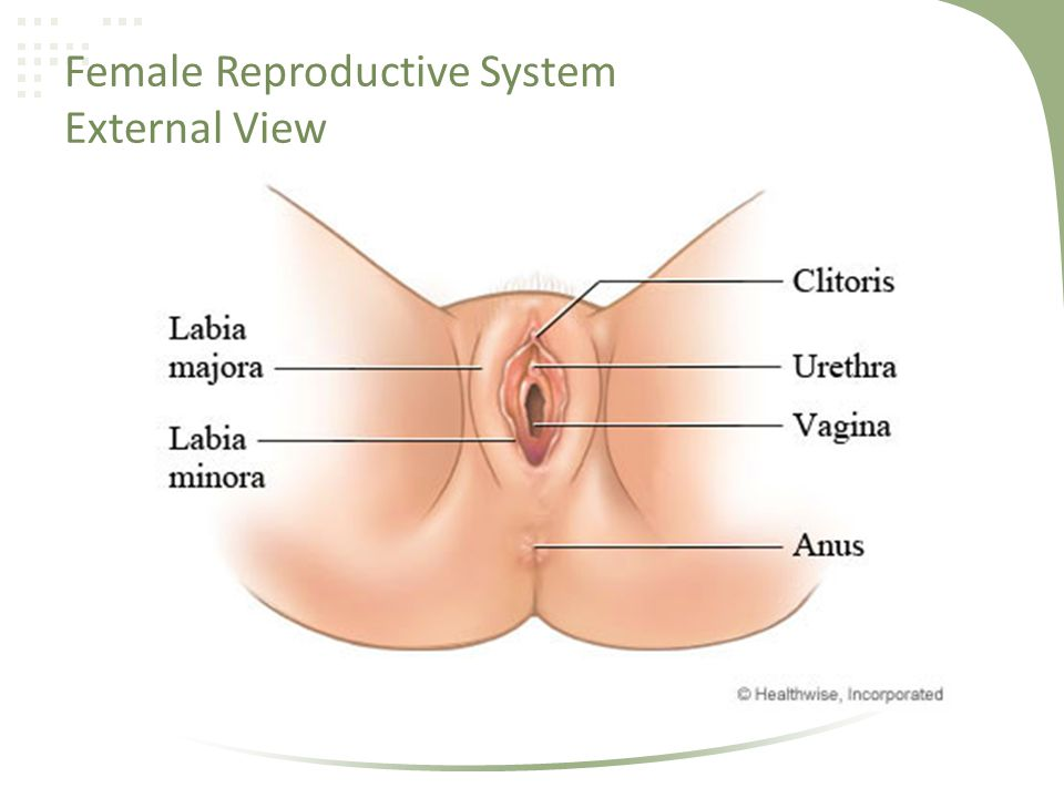 External Female Reproductive Organ