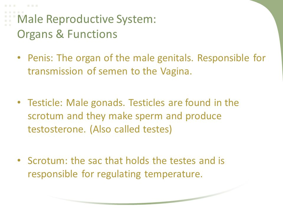 Male Reproductive System: Organs & Functions Epididymis: Coiled tube, connected to the testicle.