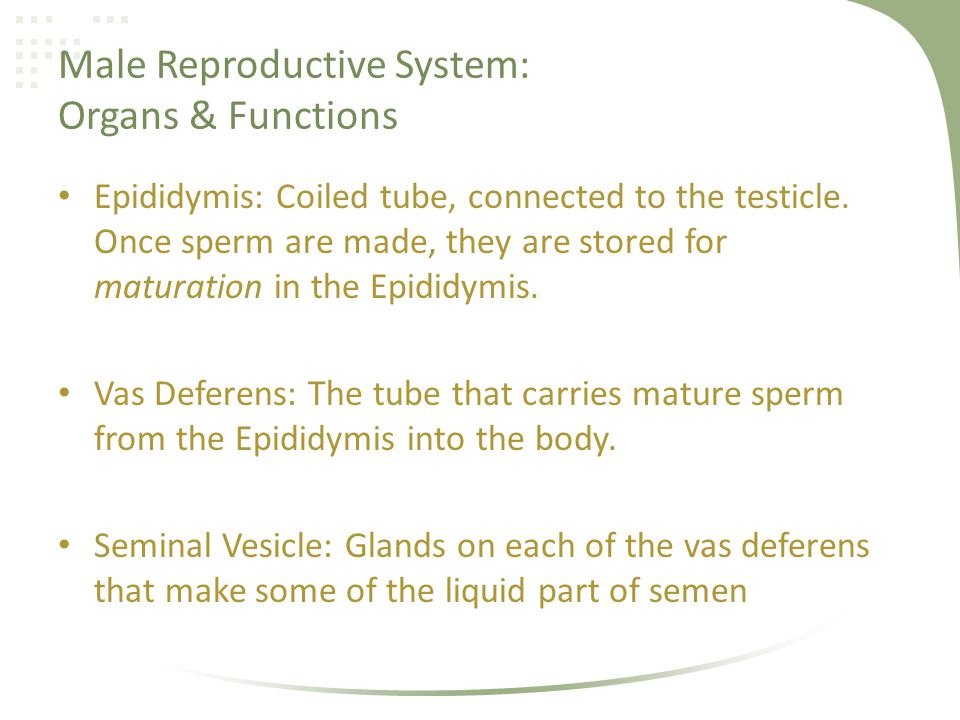 Male Reproductive System: Organs & Functions Prostate Gland: Gland under the bladder that makes some of the liquid part of the semen.