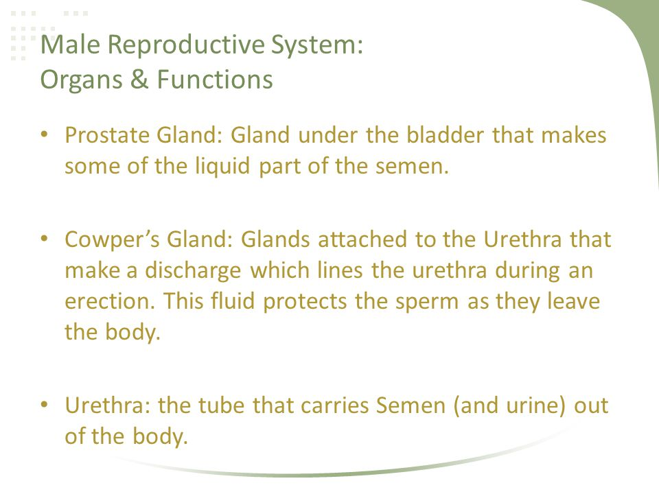 Male Reproductive System: The Penisa Deeper Look Shaft: The long, skin-covered part of the penis Head: The nerve-filled part at the end of the penis (glans penis) Foreskin: The sleeve of skin around the Head of the penis.