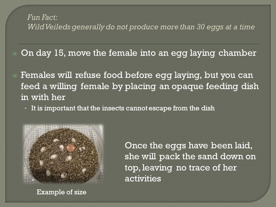 On day 15, move the female into an egg laying chamber Females will refuse food before egg laying, but you can feed a willing female by placing an opaq