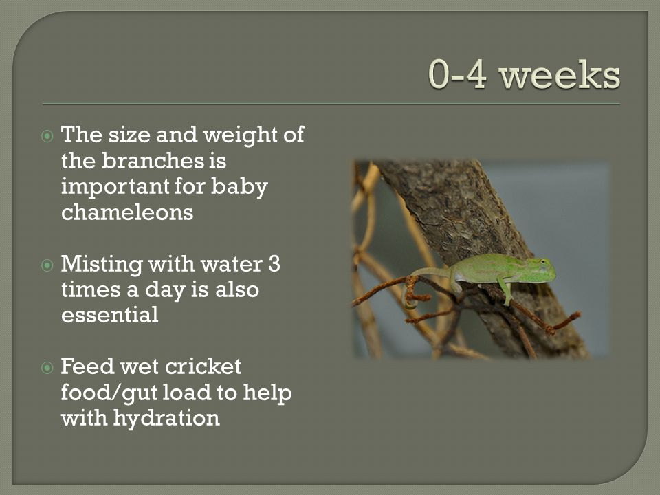 The size and weight of the branches is important for baby chameleons Misting with water 3 times a day is also essential Feed wet cricket food/gut load