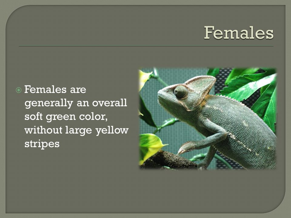 Females are generally an overall soft green color, without large yellow stripes