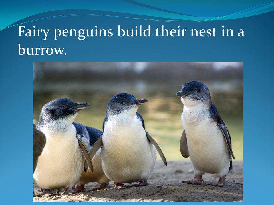 Fairy penguins build their nest in a burrow.