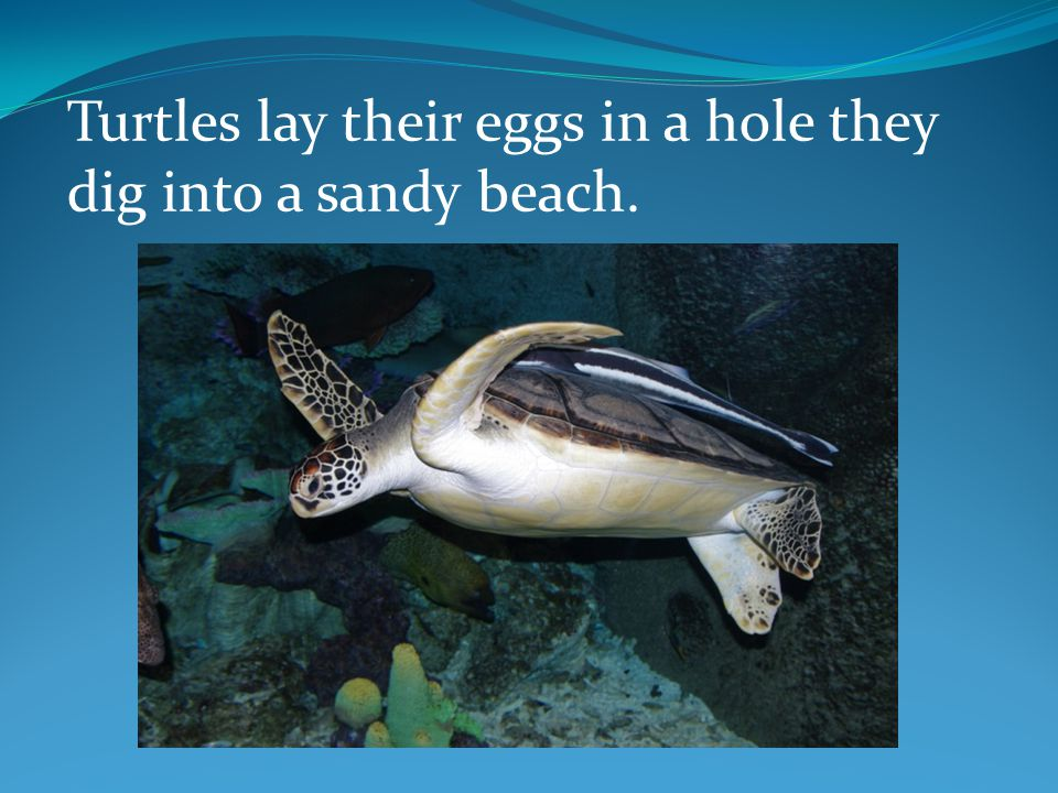 Turtles do not look after their young. Their young must find their own food and protection.
