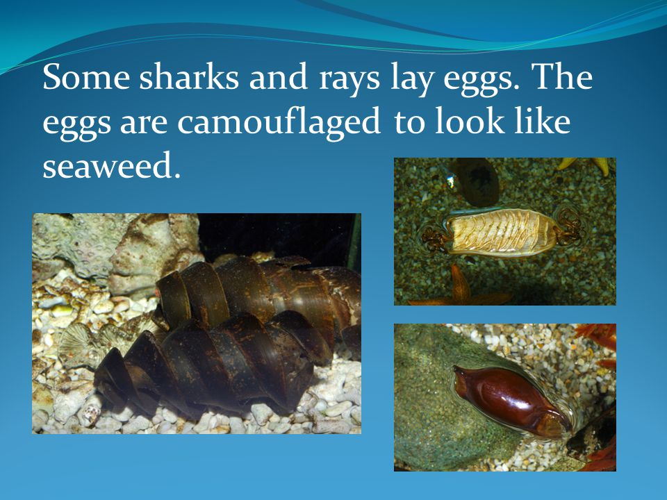 All baby sharks and rays look after themselves.