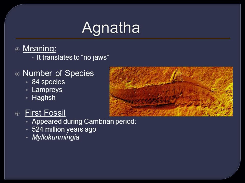 Meaning: It translates to no jaws Number of Species 84 species Lampreys Hagfish First Fossil Appeared during Cambrian period: 524 million years ago Myllokunmingia