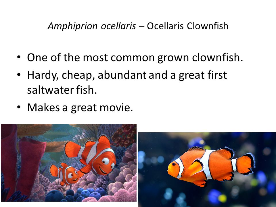 Amphiprion ocellaris – Ocellaris Clownfish One of the most common grown clownfish.