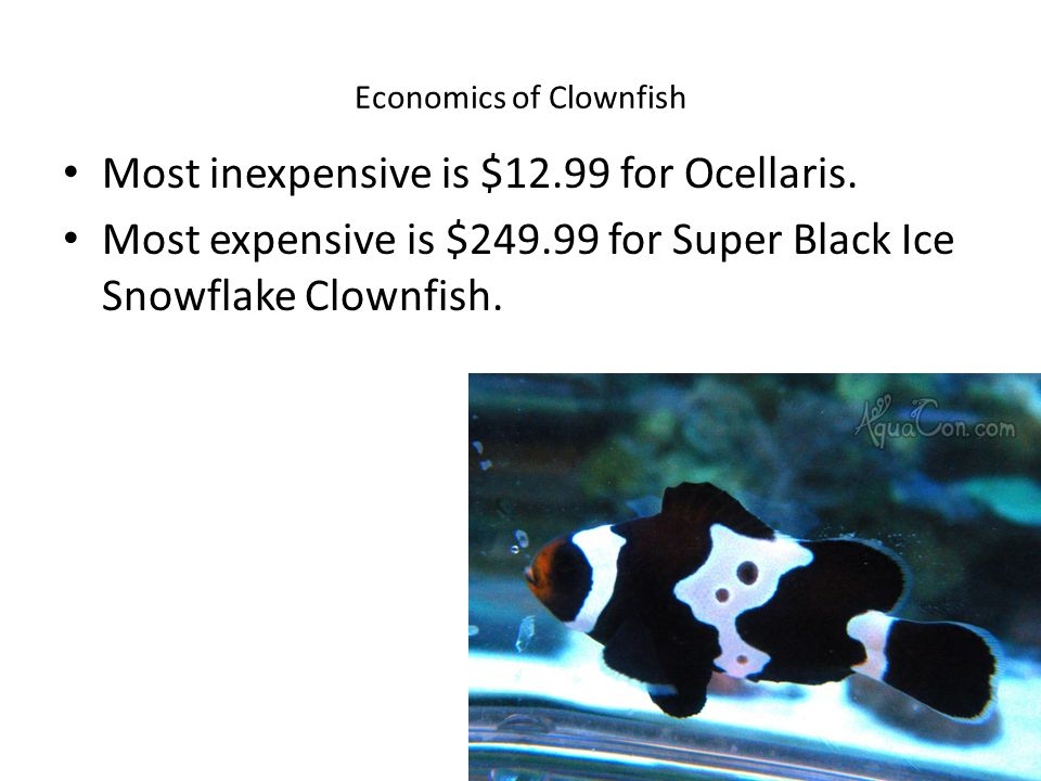 Economics of Clownfish Most inexpensive is $12.99 for Ocellaris.