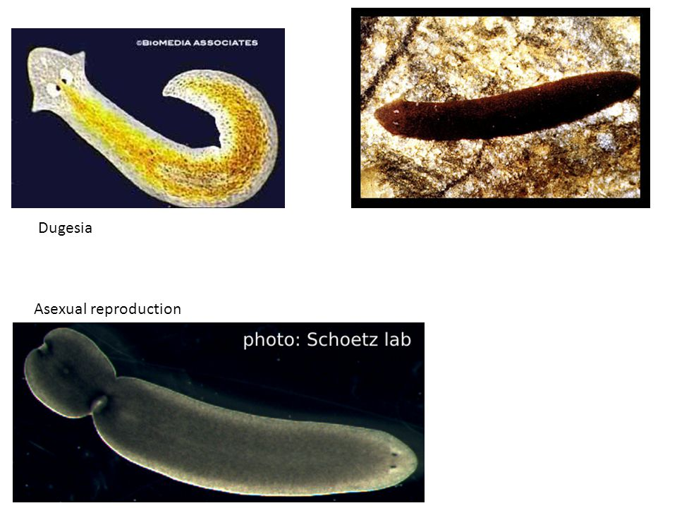 Asexual reproduction Dugesia