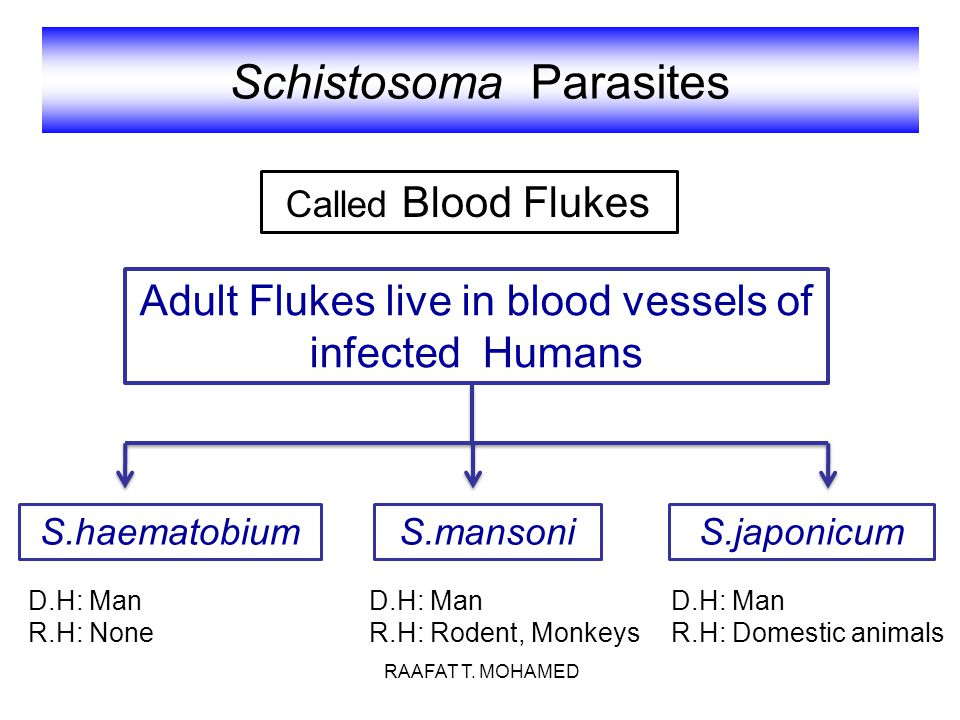 Schistosoma Parasites Adult Flukes live in blood vessels of infected Humans S.haematobiumS.mansoniS.japonicum Called Blood Flukes D.H: Man R.H: Rodent