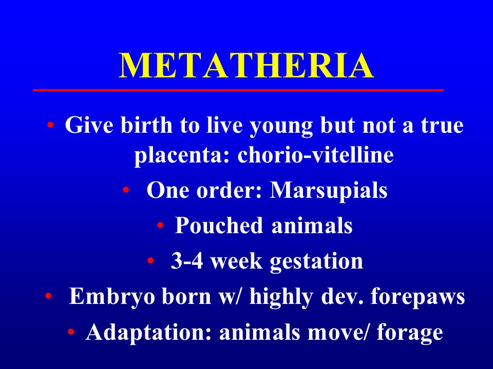 METATHERIA Give birth to live young but not a true placenta: chorio-vitelline One order: Marsupials Pouched animals 3-4 week gestation Embryo born w/
