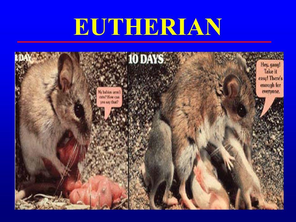 EUTHERIAN