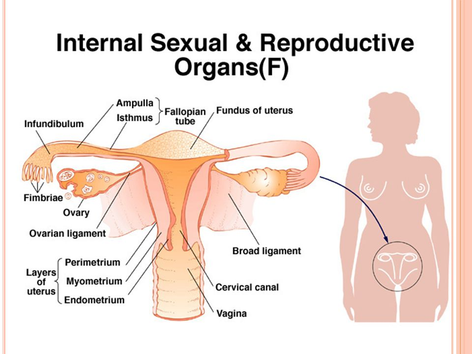 Image result for internal sexual and reproductive organs female