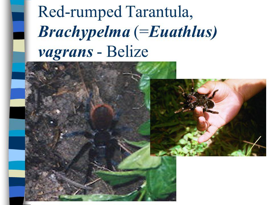 Red-rumped Tarantula, Brachypelma (=Euathlus) vagrans - Belize