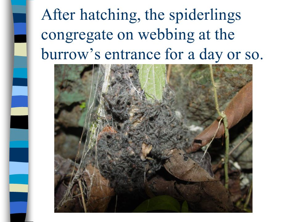 After hatching, the spiderlings congregate on webbing at the burrows entrance for a day or so.