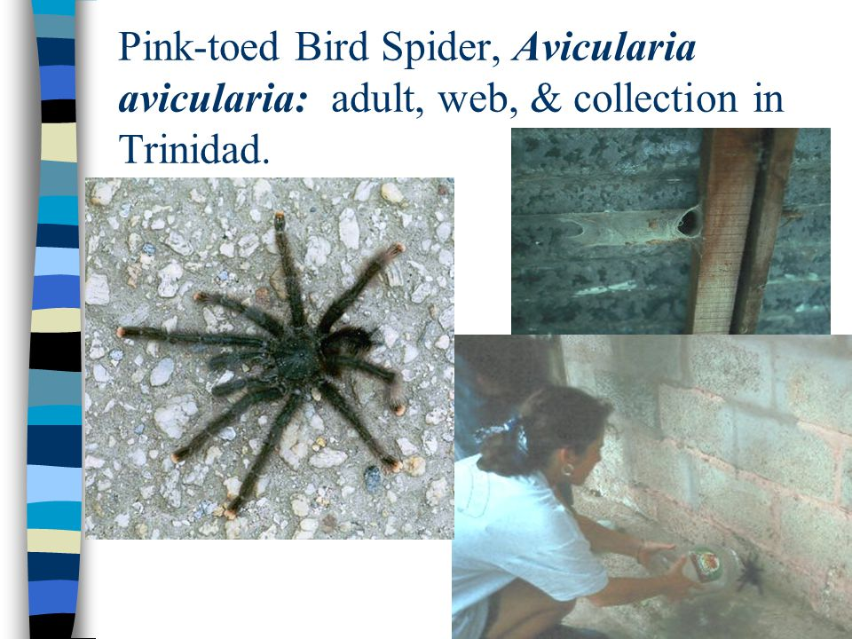 Pink-toed Bird Spider, Avicularia avicularia: adult, web, & collection in Trinidad.