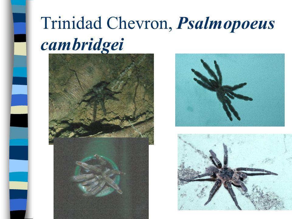 Trinidad Chevron, Psalmopoeus cambridgei