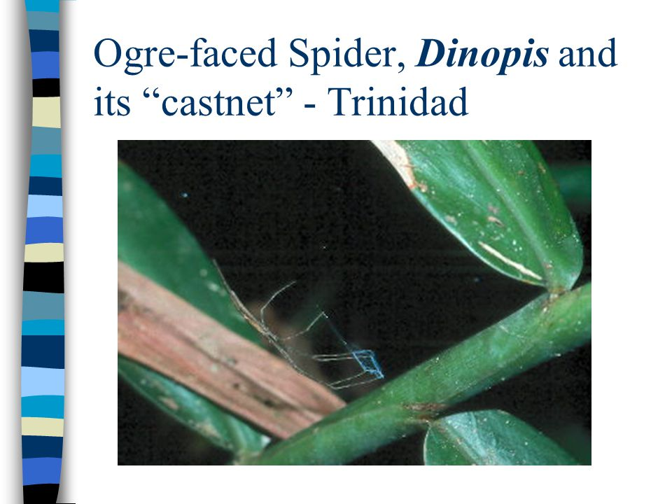 Ogre-faced Spider, Dinopis and its castnet - Trinidad