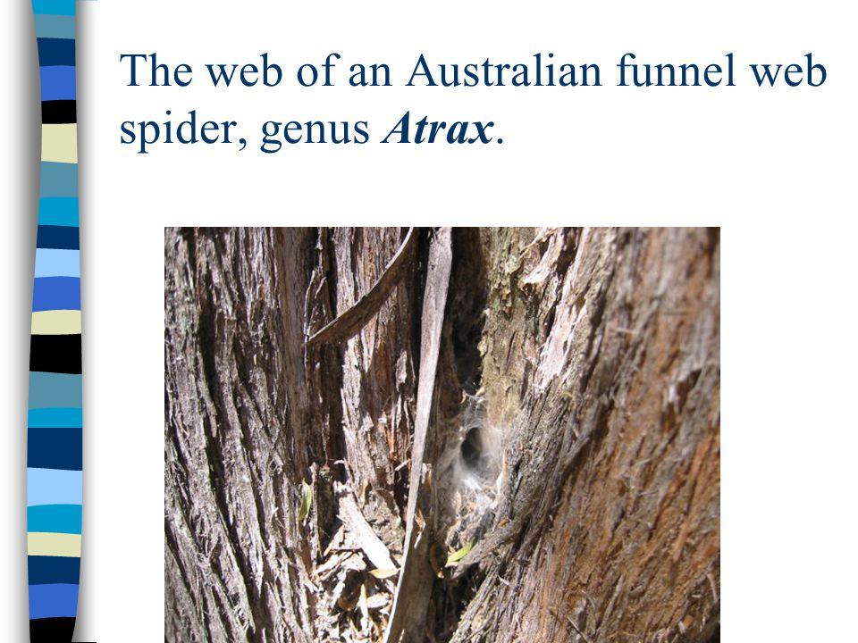 The web of an Australian funnel web spider, genus Atrax.
