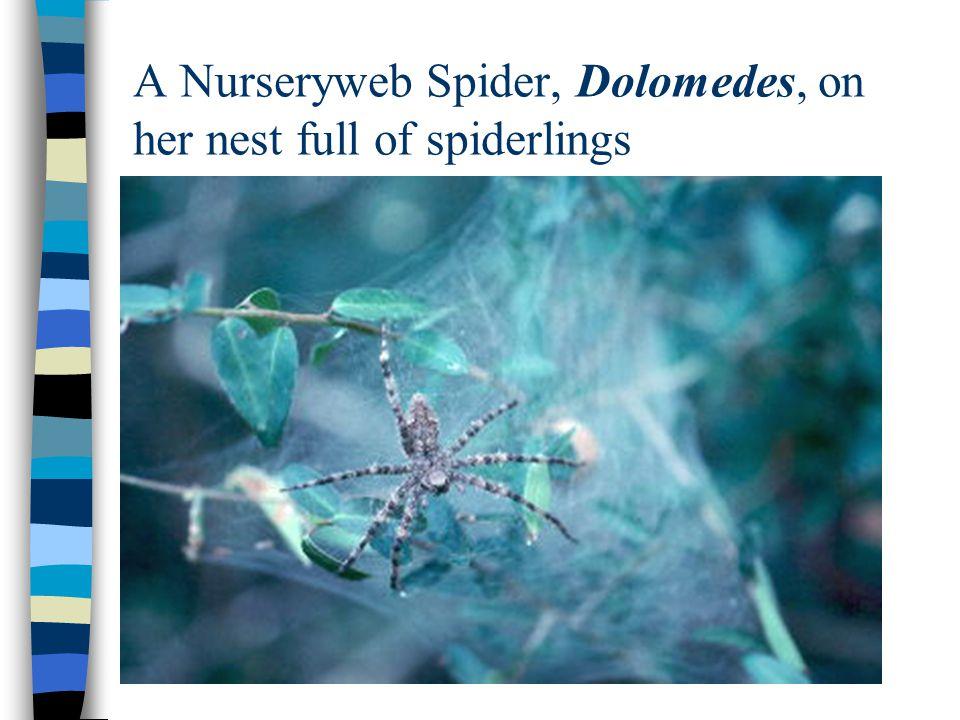 A Nurseryweb Spider, Dolomedes, on her nest full of spiderlings