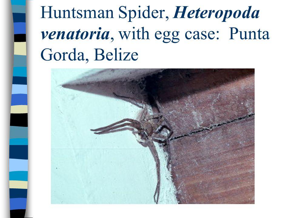 Huntsman Spider, Heteropoda venatoria, with egg case: Punta Gorda, Belize