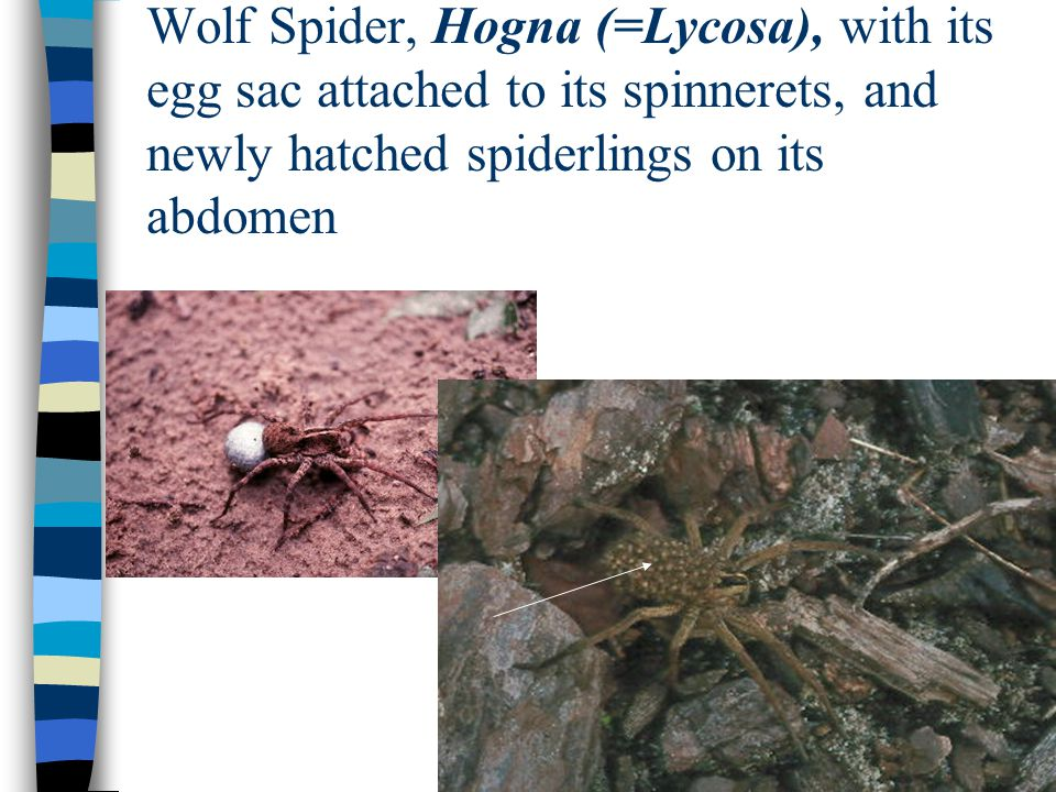 Wolf Spider, Hogna (=Lycosa), with its egg sac attached to its spinnerets, and newly hatched spiderlings on its abdomen