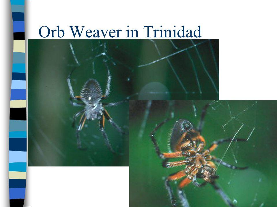 Orb Weaver in Trinidad