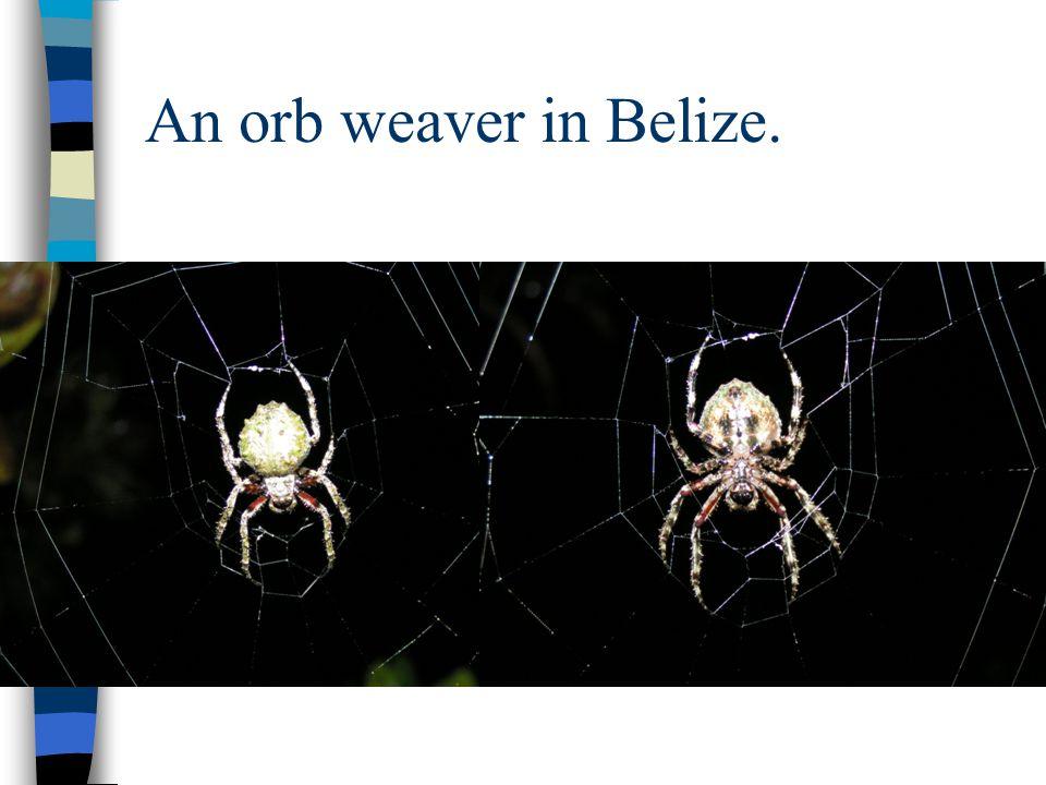 An orb weaver in Belize.