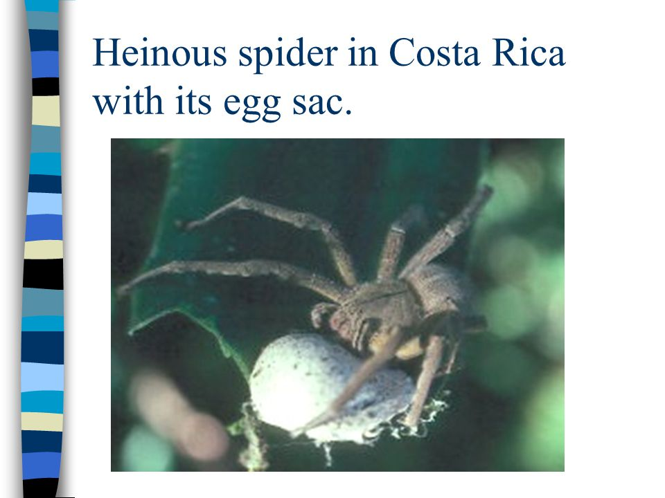 Heinous spider in Costa Rica with its egg sac.