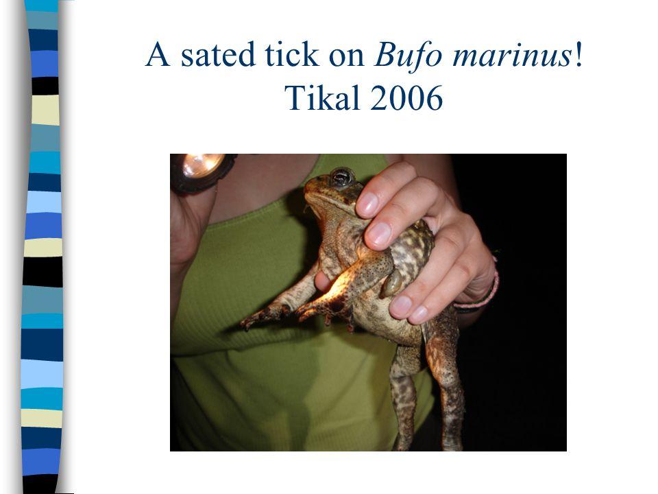 A sated tick on Bufo marinus! Tikal 2006