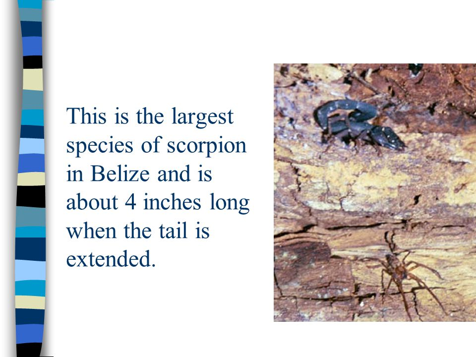 This is the largest species of scorpion in Belize and is about 4 inches long when the tail is extended.