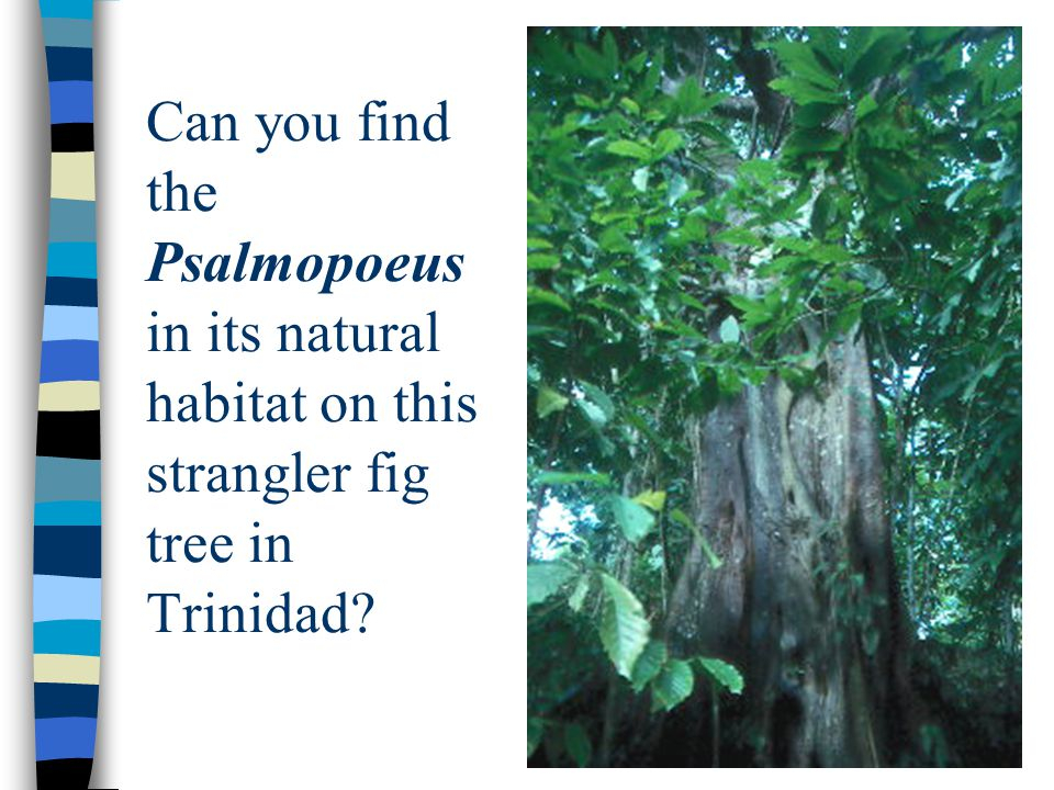 Can you find the Psalmopoeus in its natural habitat on this strangler fig tree in Trinidad?