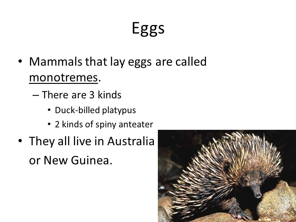 Eggs Mammals that lay eggs are called monotremes. – There are 3 kinds Duck-billed platypus 2 kinds of spiny anteater They all live in Australia or New