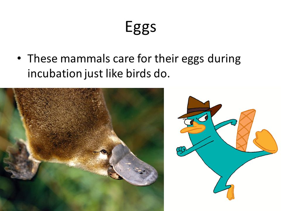 Eggs These mammals care for their eggs during incubation just like birds do.